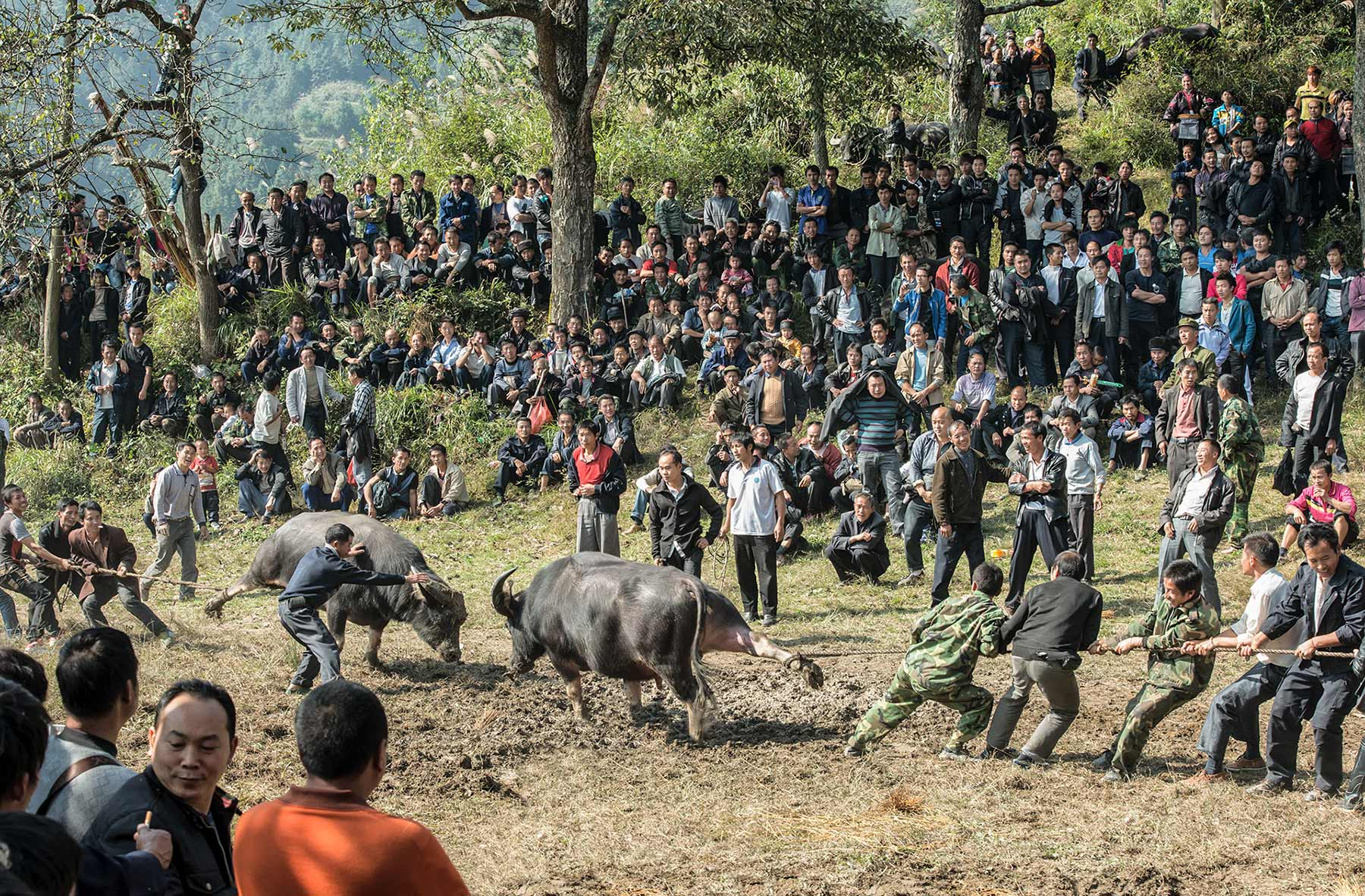 Bullfight | Guizhou, China